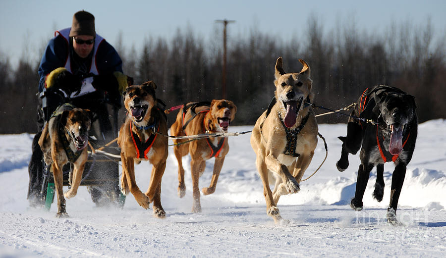 Sled Dogs Photograph - 2011 Limited North American Sled Dog Race by Gary Whitton