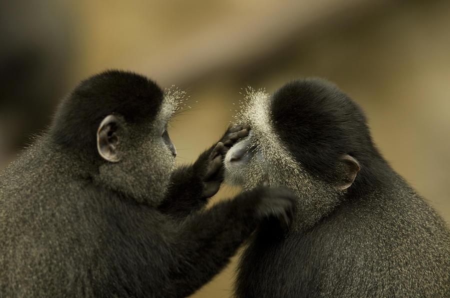 A Blue Monkey Cercopithecus Mitis Photograph