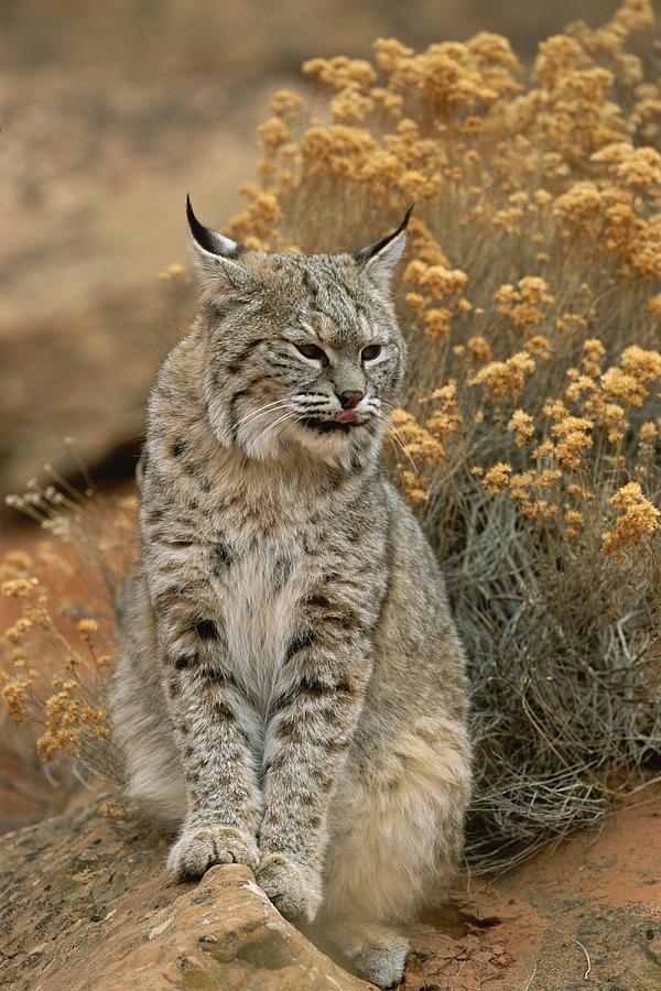 A Bobcat Photograph