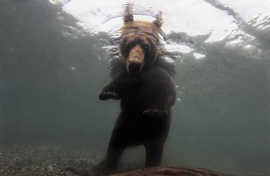A Brown Bear Fishing For Salmon Photograph