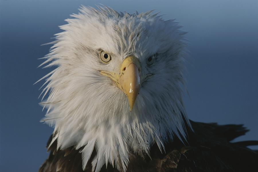northern American Bald Eagles Photograph - A Close View Of A Northern American by Norbert Rosing