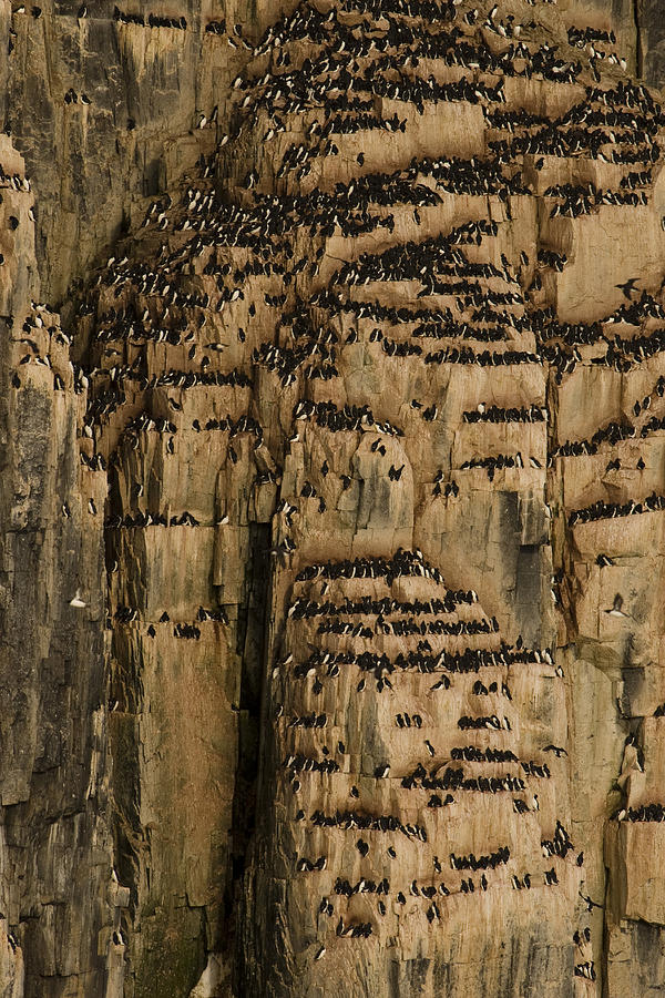 A Colony Of Little Auks Line Jagged Photograph  - A Colony Of Little Auks Line Jagged Fine Art Print