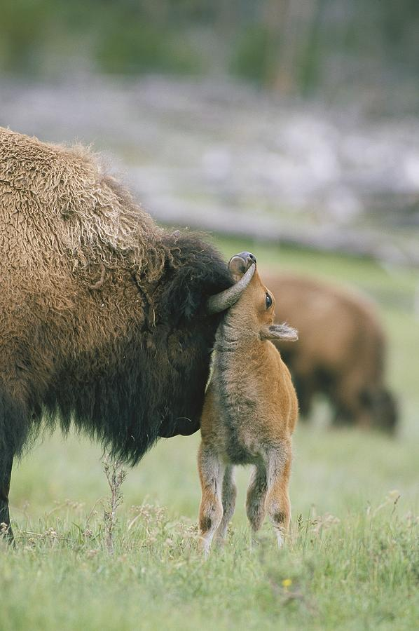A Female Bison Bison Bison Stands Photograph