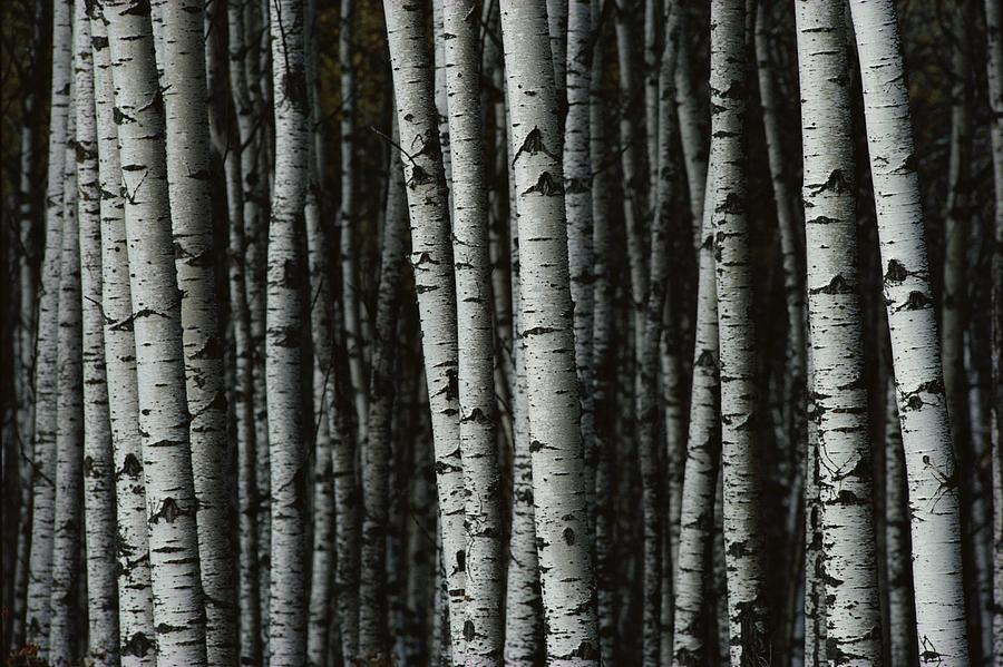 A Forest Of White Birch Trees Betula Photograph