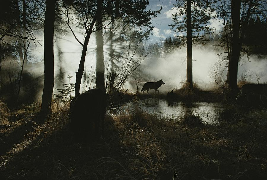 A Gray Wolf, Canis Lupus, In Silhouette Photograph