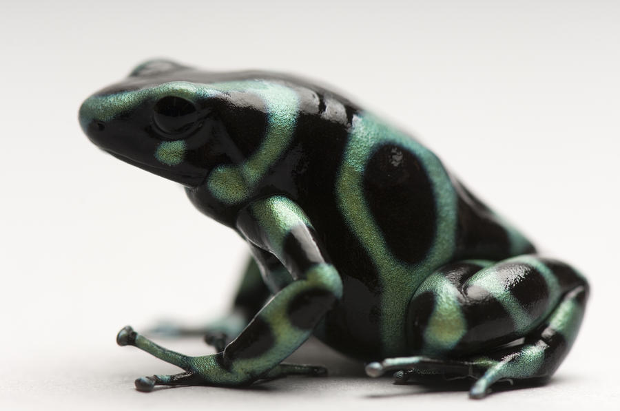 A Green-and-black Poison Dart Frog Photograph  - A Green-and-black Poison Dart Frog Fine Art Print