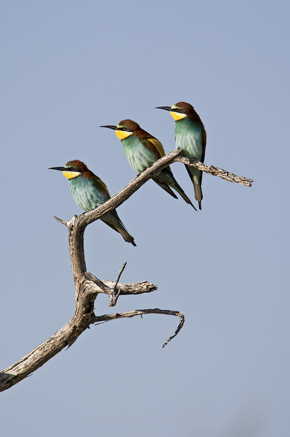 A Group Of Bee-eaters Resting On Branch Photograph  - A Group Of Bee-eaters Resting On Branch Fine Art Print
