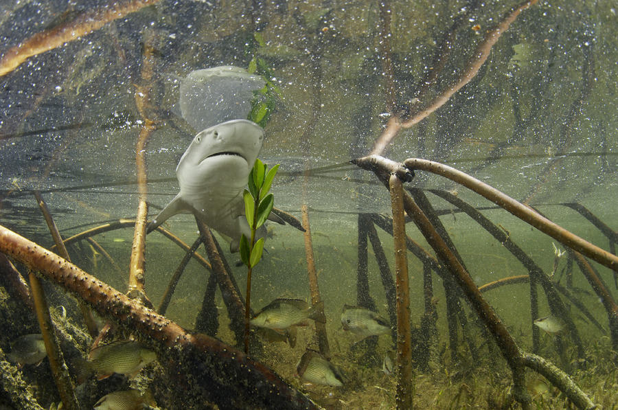A Lemon Shark Pup Swims Among Mangrove Photograph