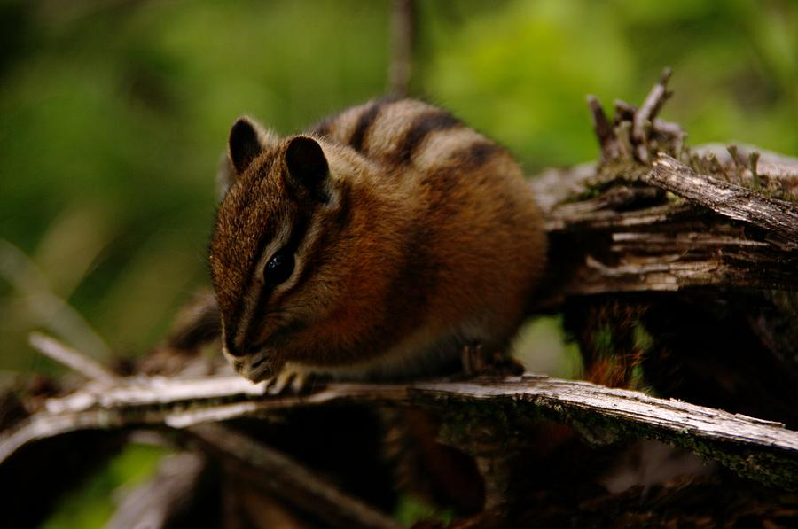 Animals Photograph - A Little Chipmunk by Jeff Swan