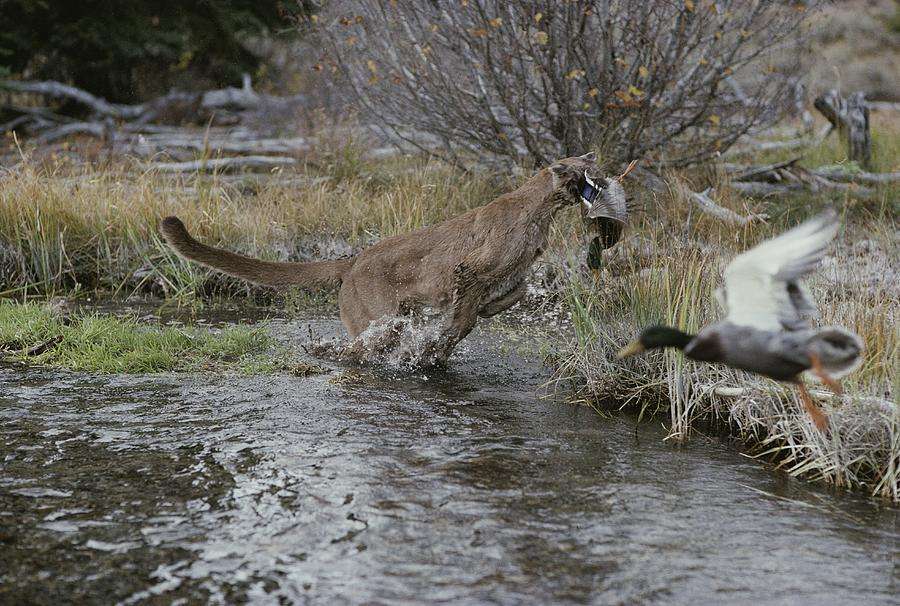 A Mountain Lion, Felis Concolor, Hunts Photograph