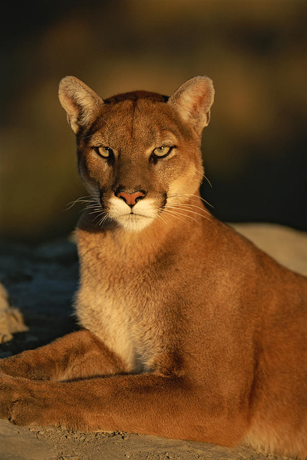 A Portrait Of A Mountain Lion Photograph