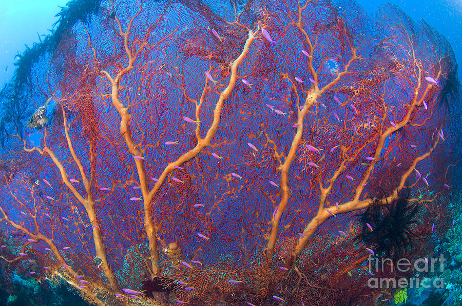 A Red Sea Fan With Purple Anthias Fish Photograph
