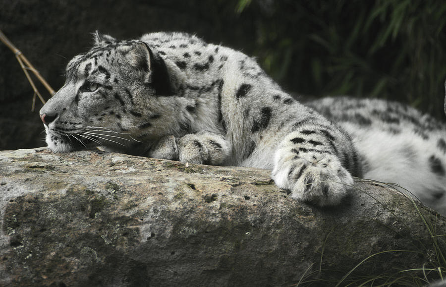 A Snow Leopard Takes Time Out To Rest Photograph