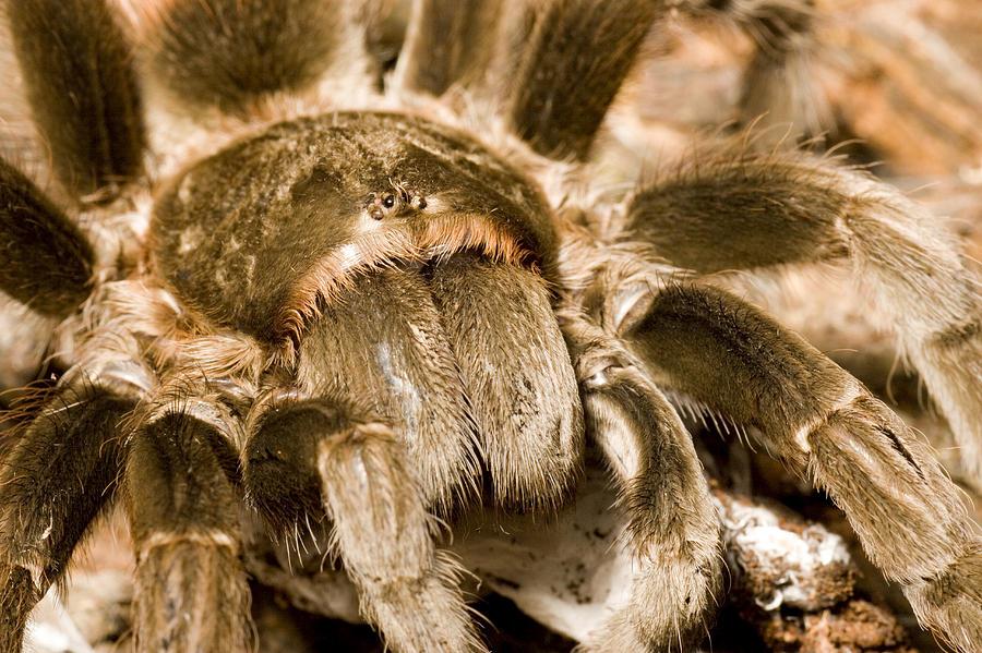 A Tarantula Living In Mangrove Forest Photograph
