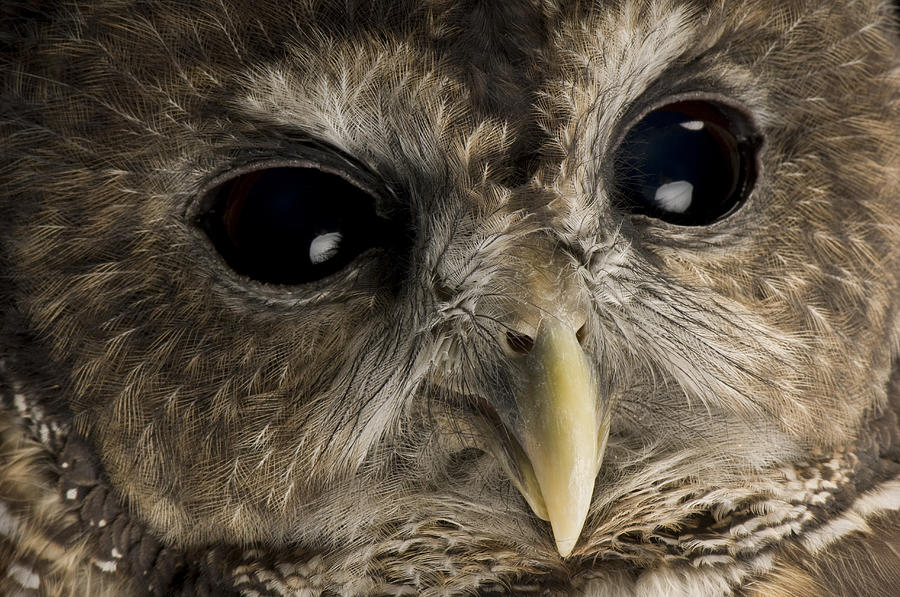 A Threatened Northern Spotted Owl Photograph