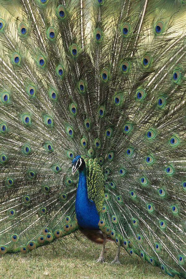A View Of An Indian Peacock With Tail Photograph  - A View Of An Indian Peacock With Tail Fine Art Print