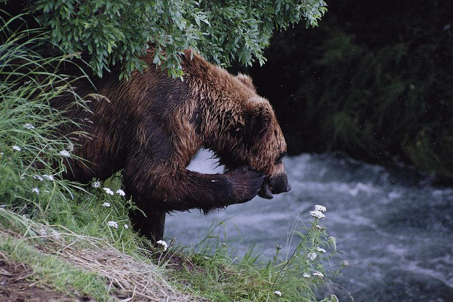 A Young Grizzly Bear Ursus Arctos Photograph