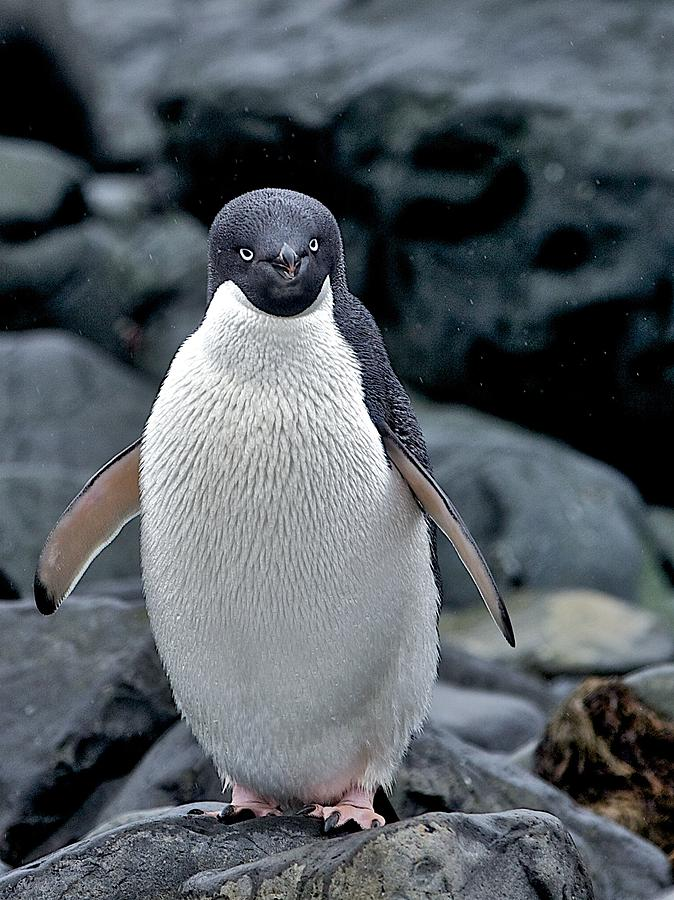 Adelie Penguin Photograph