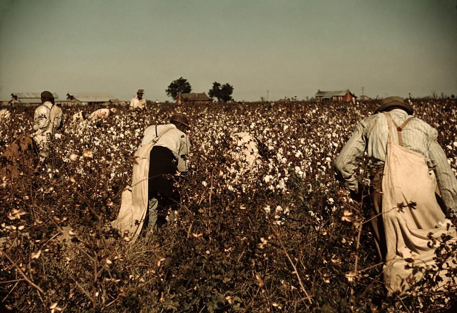 African American Day Laborers Picking Photograph