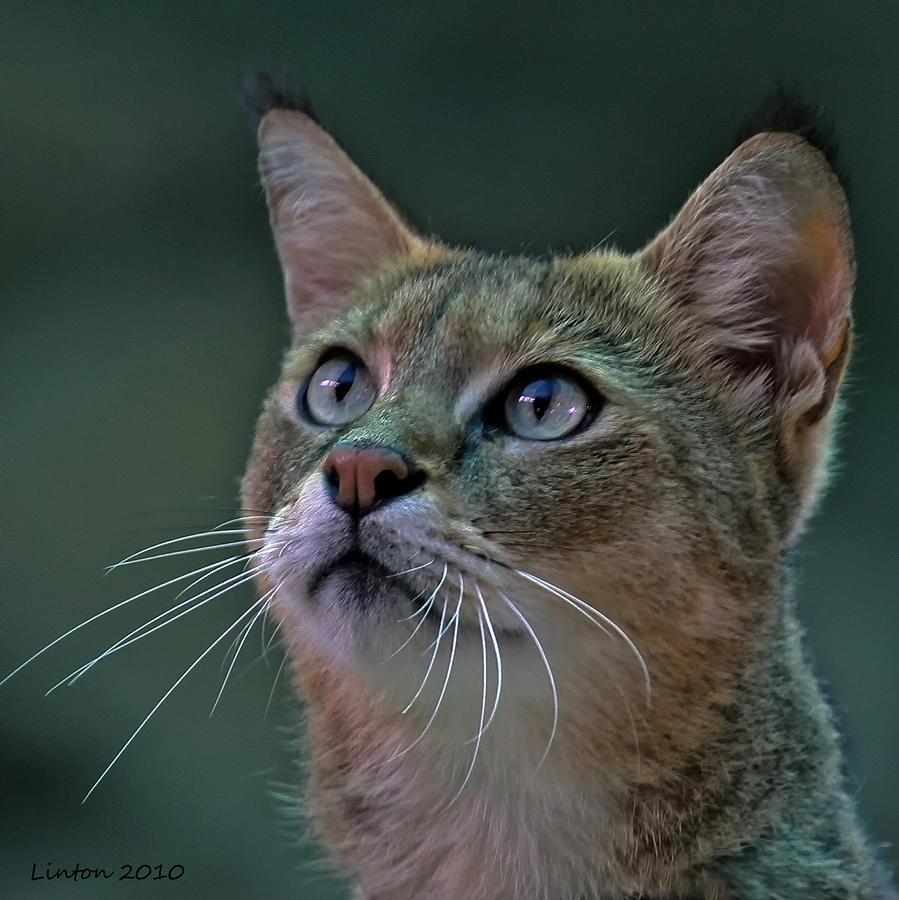 African Wild Cat Photograph