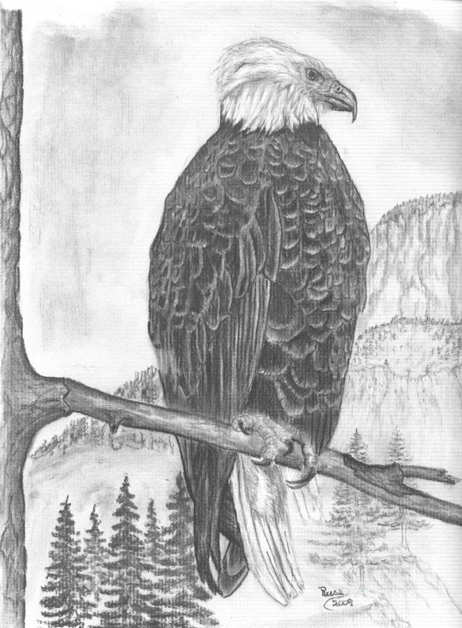 American Bald Eagle Drawing  - American Bald Eagle Fine Art Print