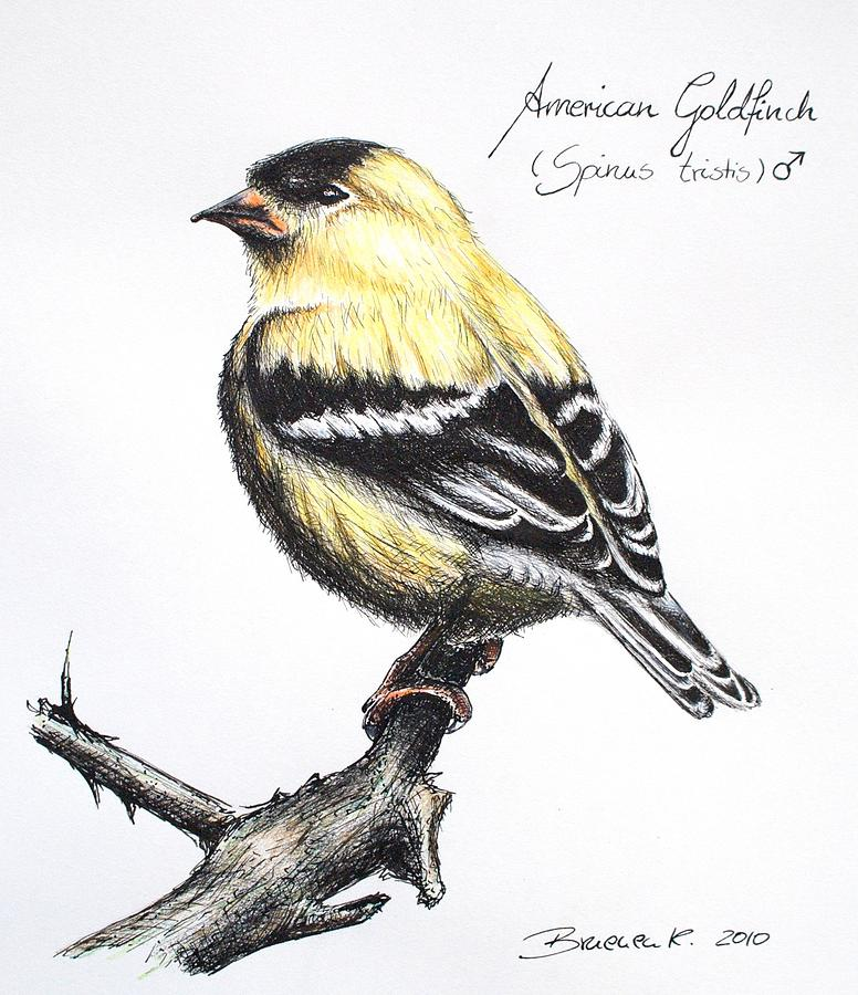 How to draw goldfinch