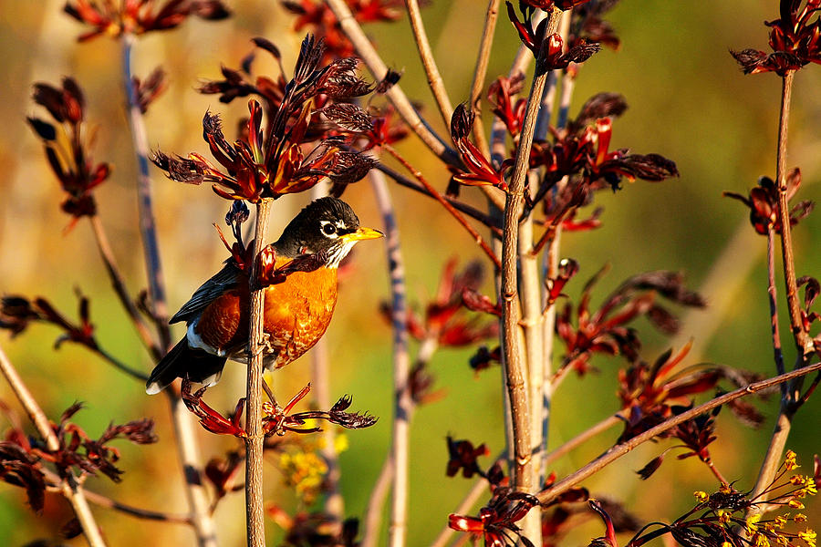 American Robin Photograph