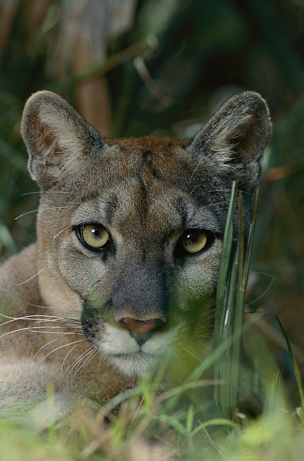 An Alleged Florida Panther. Owner Frank Photograph  - An Alleged Florida Panther. Owner Frank Fine Art Print