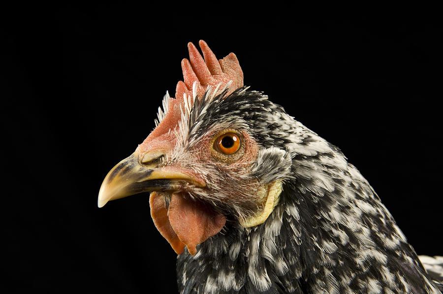 Davey Photograph - An Ancona Chicken At The Soukup Farm by Joel Sartore