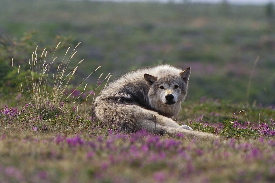 An Arctic Wolf Canis Lupus Arctos Rests Photograph