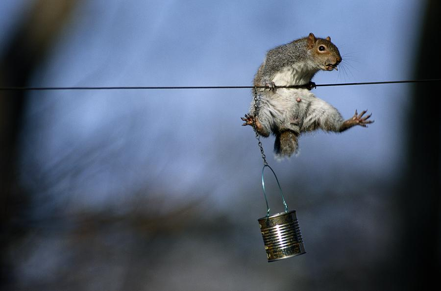 United States Photograph - An Eastern Gray Squirrel Sciurus by Chris Johns