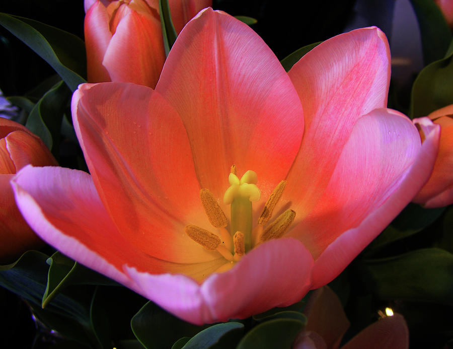 An open tulip by wilma stout