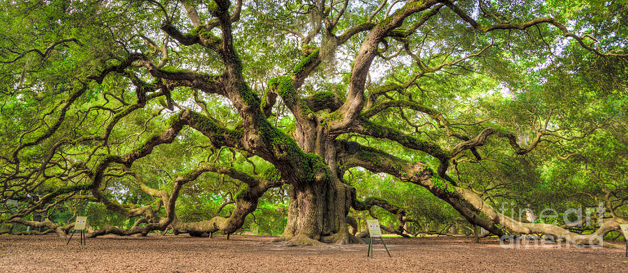 Angel Oak Tree Of Life Photograph  - Angel Oak Tree Of Life Fine Art Print