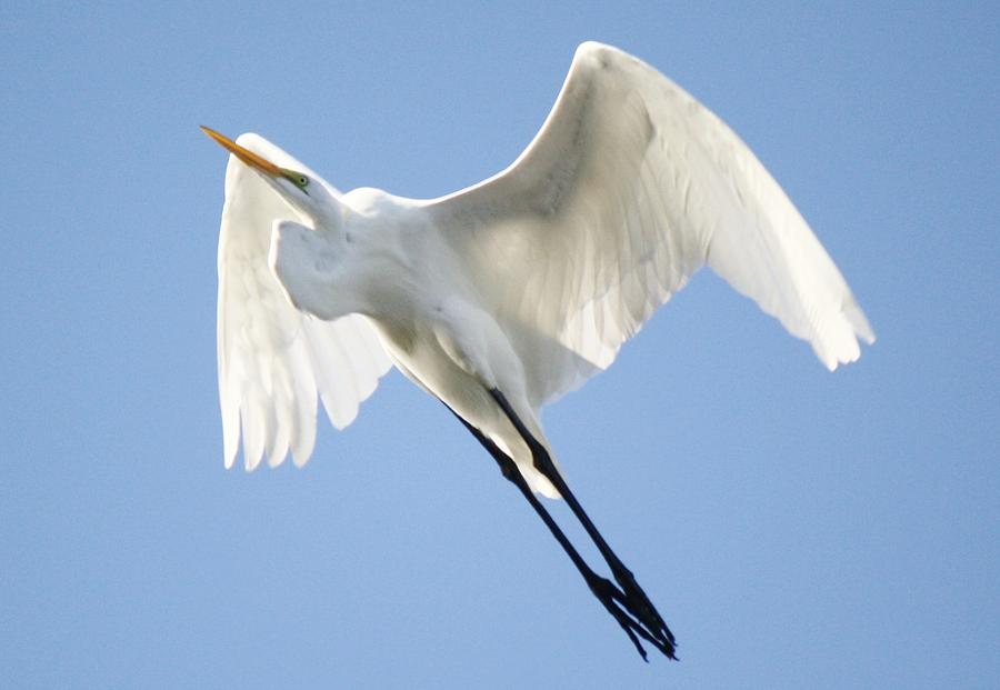 Great White Egret Photograph - Angel Wings by Paulette Thomas