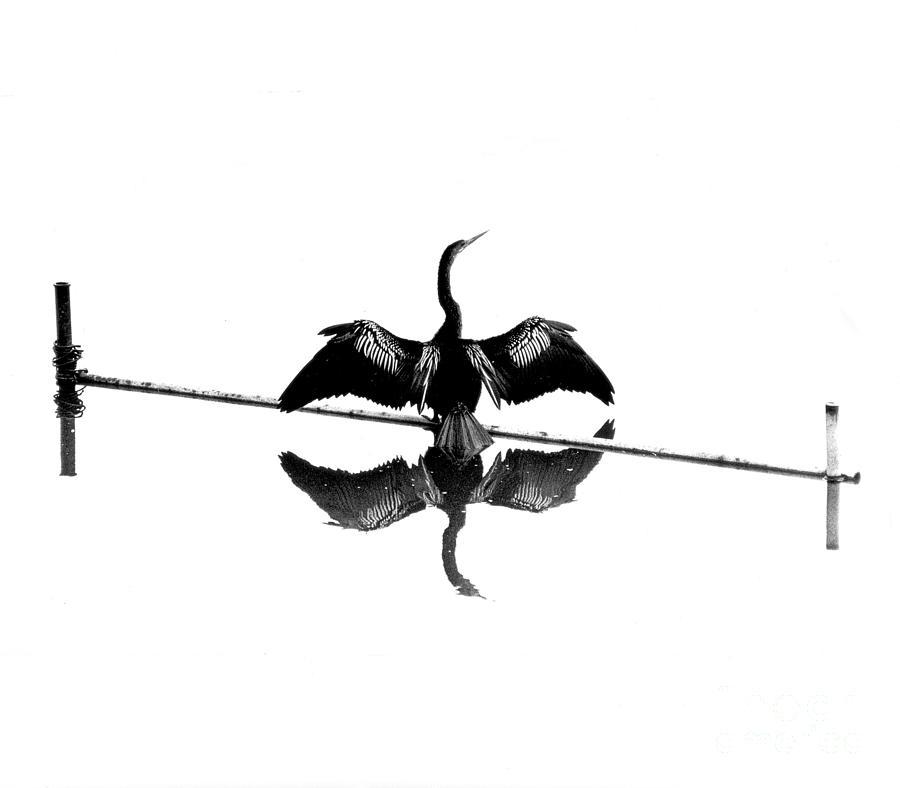 Anhinga Photograph