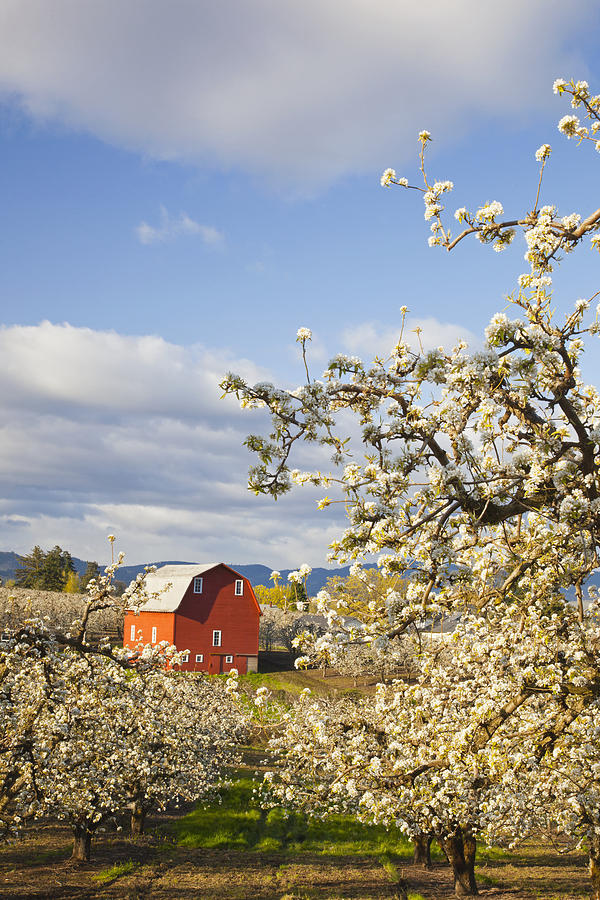 Apple Blossom Trees And A Red Barn In Photograph