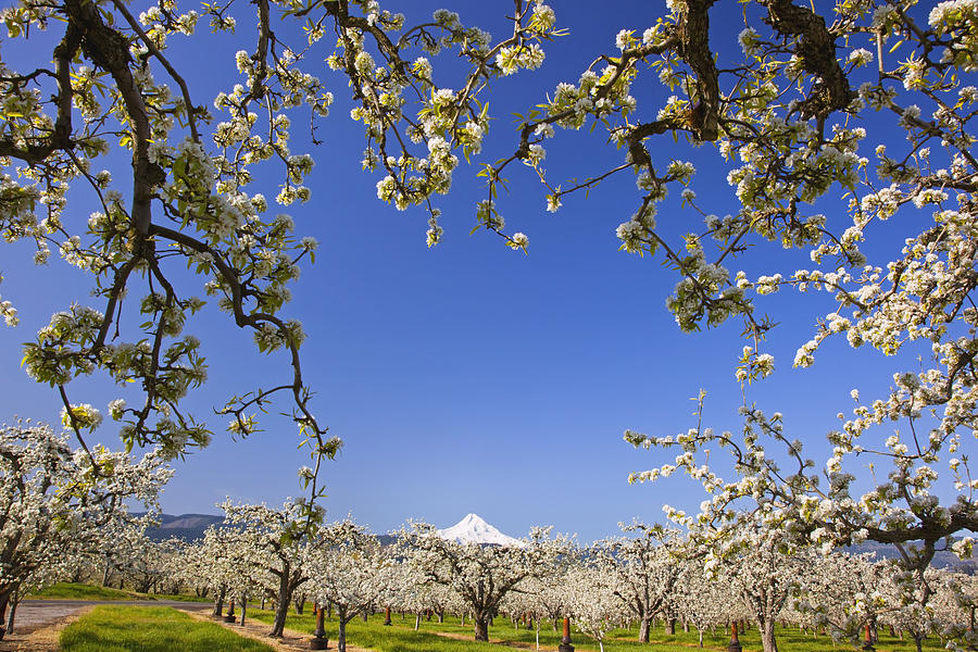 Blue Sky Photograph - Apple Blossom Trees In Hood River by Craig Tuttle