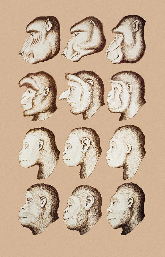 Old World Monkey Photograph - Artwork Of Twelve Catarrhines, 1870 by Mehau Kulyk