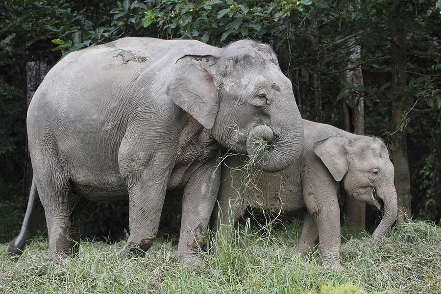 Asian Elephant Elephas Maximus Mother Photograph