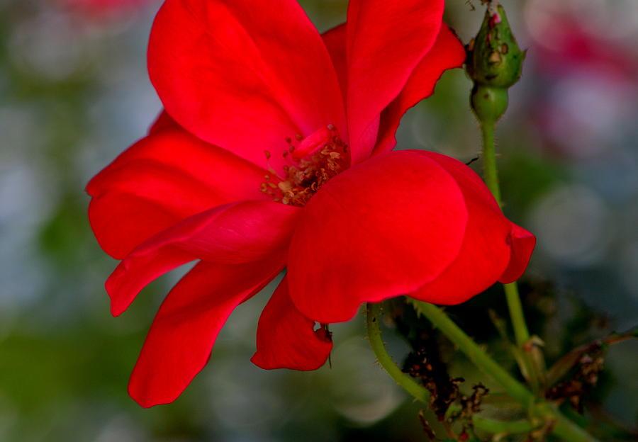 Rose Photograph - At Last....... by Tanya Tanski