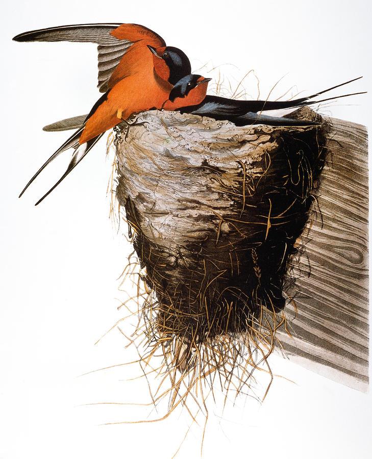Audubon: Swallow Photograph