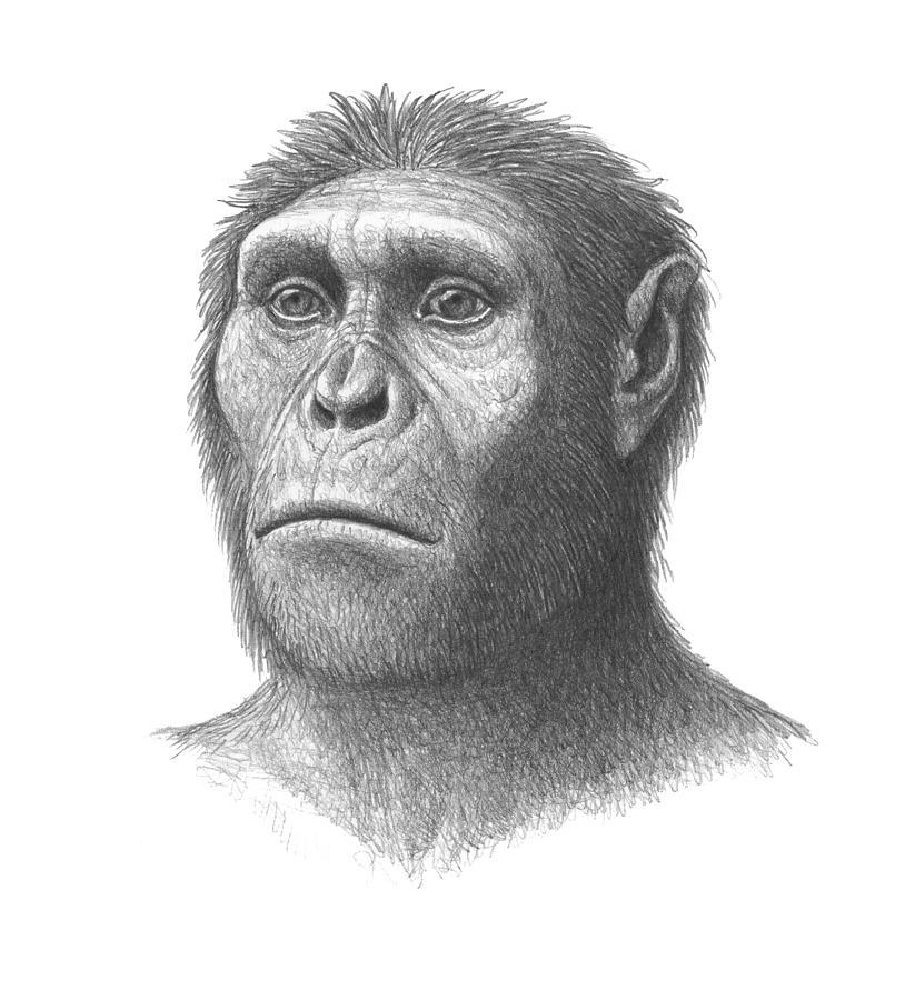 Australopithecus Sediba Photograph - Australopithecus Sediba Head by ...