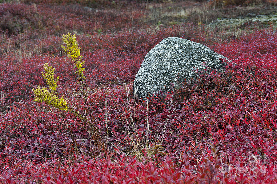 Autumn Blueberry Field Photograph