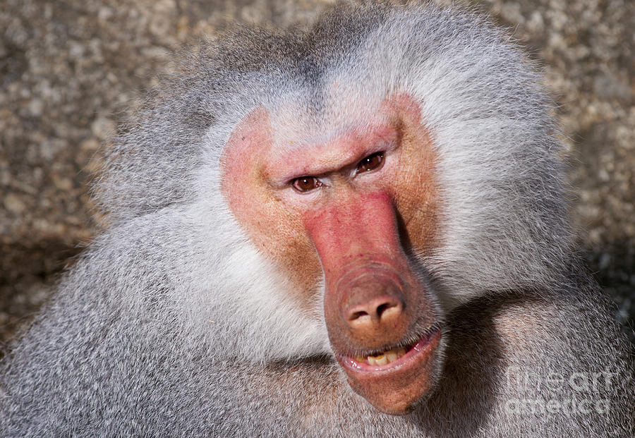 Baboon Photograph
