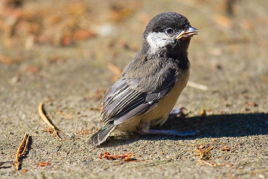 Baby Chickadee Photograph
