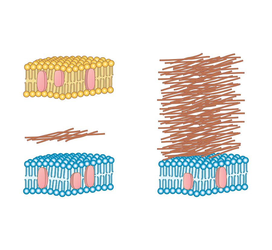 Bacterial Cell Wall Comparison, Artwork Photograph