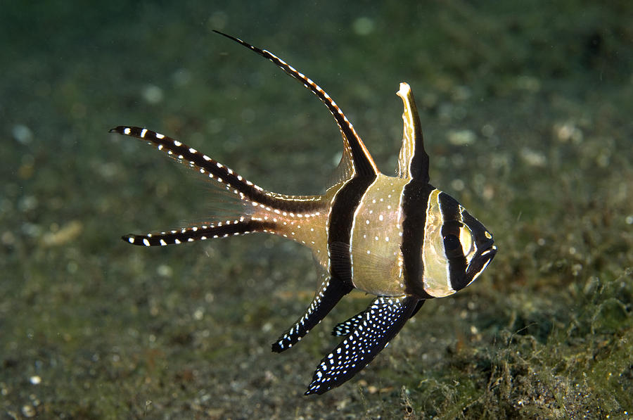 banggai cardinalfish - photo #9