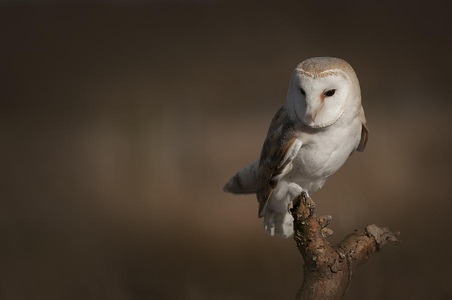 Barn Owl Photograph - Barn Owl by Andy Astbury