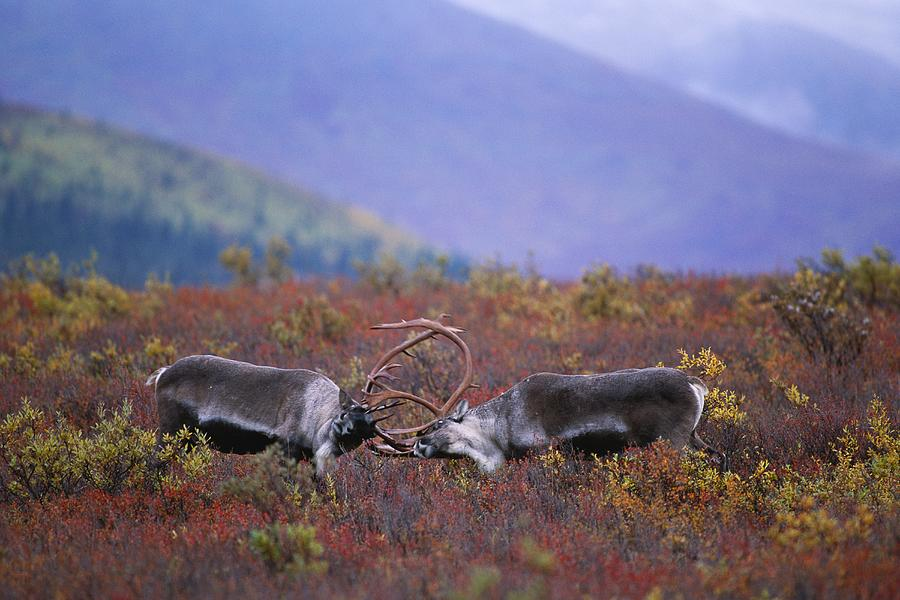 Barren-ground Caribou Rangifer Tarandus Photograph