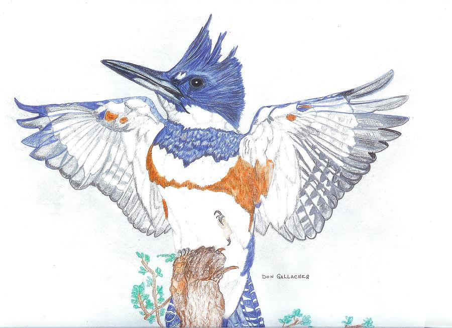 Belted Kingfisher Drawing